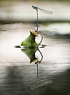 Libellenpärchen