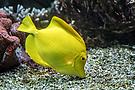 Der gelbe Segeldoktorfisch