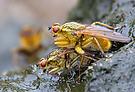 Gelbe Dungfliegen
