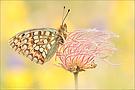 Mittlerer Perlmutterfalter (Argynnis niobe)