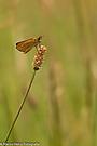 Braunkobiger-Braundickkopffalter auf einer Wiese