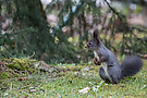 Eichhörnchen (Sciurus vulgaris) - Écureuil - Squirrel