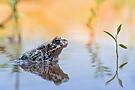 Wechselkröte mit Spiegelung