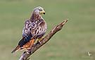 Brandenburger Adler