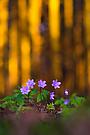 Leberblümchen mit Hektik