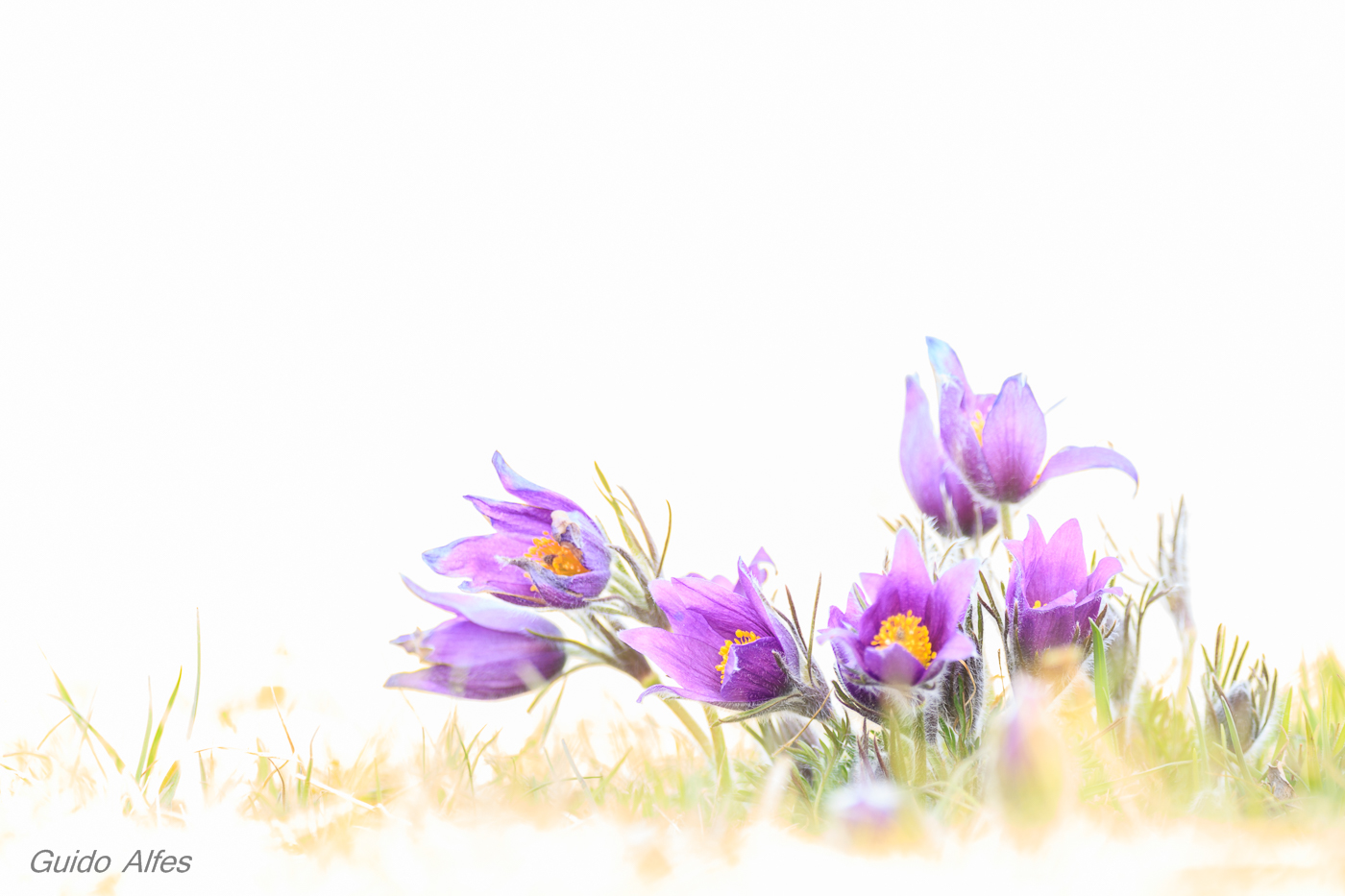 Pulsatilla High-Key