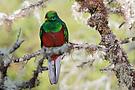 Der Liebesvogel