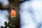 Gimpel (Pyrrhula pyrrhula) - Dompfaff - Blutfink