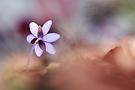 bei den Leberblümchen im Buchenwald