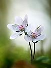Leberblümchen in Weiss