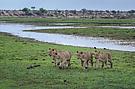 Löwen am Boteti River