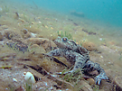 Erdkröte im natürlichen Unterwasser-Habitat