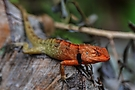 Garten Echse (Oriental Garden Lizard)