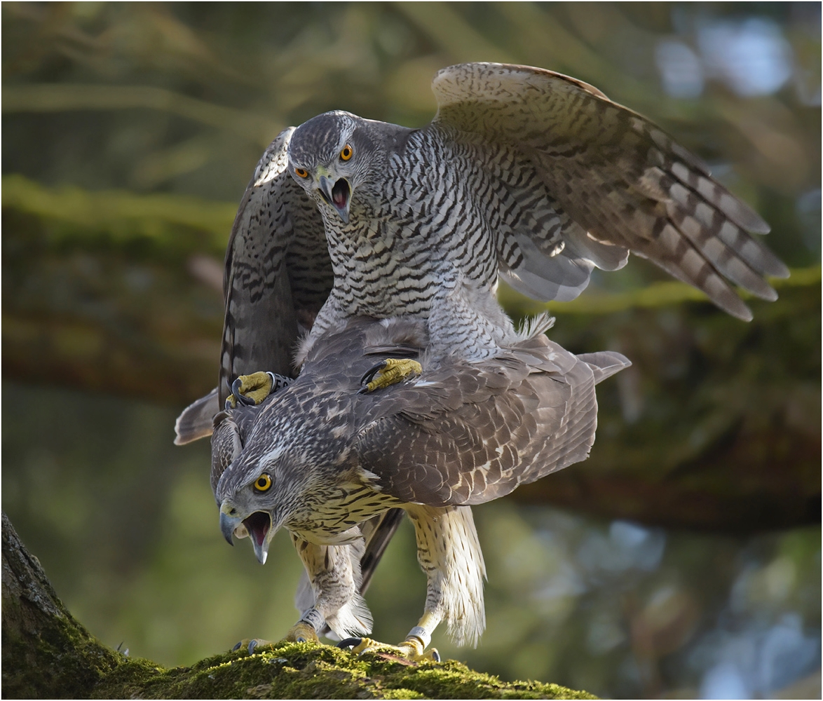 Habichtpaar (Forum für Naturfotografen)