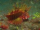 Zwerg-Feuerfisch