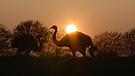 Nandu Safari