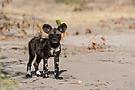 Wild Dog Welpe - Mababe / Botswana