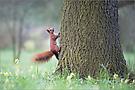 Eichhörnchen ( Sciurus Vulgaris )