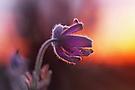 Blüten ......
