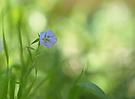 Leinblume (Linum usitatissimum)