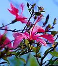 Hibiskus - Blüte ...