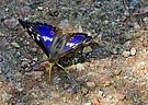 Kleiner Schillerfalter (Blau schillernd)