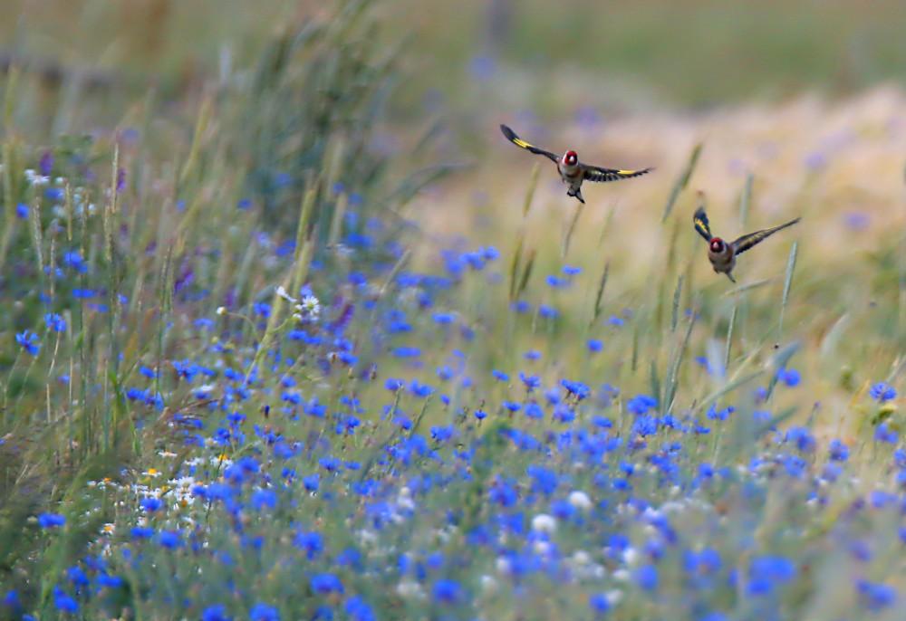 Stieglitze über dem Kornblumenfeld (Forum für Naturfotografen)