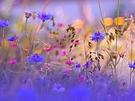 In der Kornblumenwiese