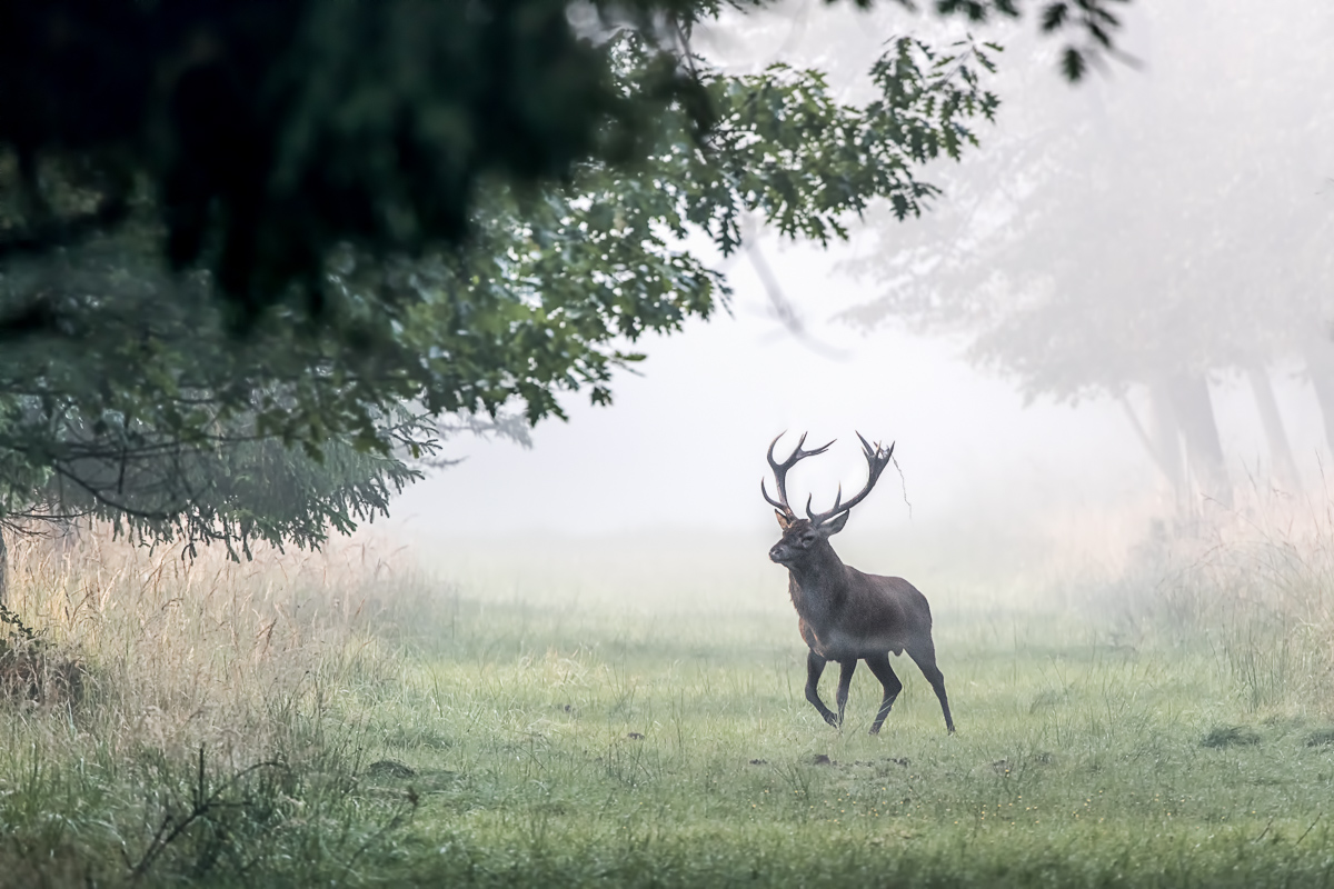 on a misty morning - Rothirsch (Cervus elaphus)