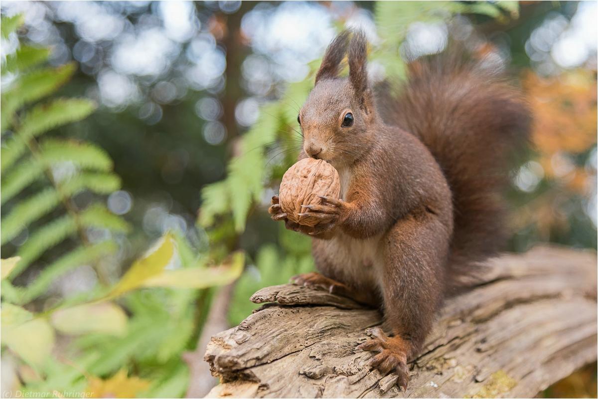 eichhörnchen forum für naturfotografen