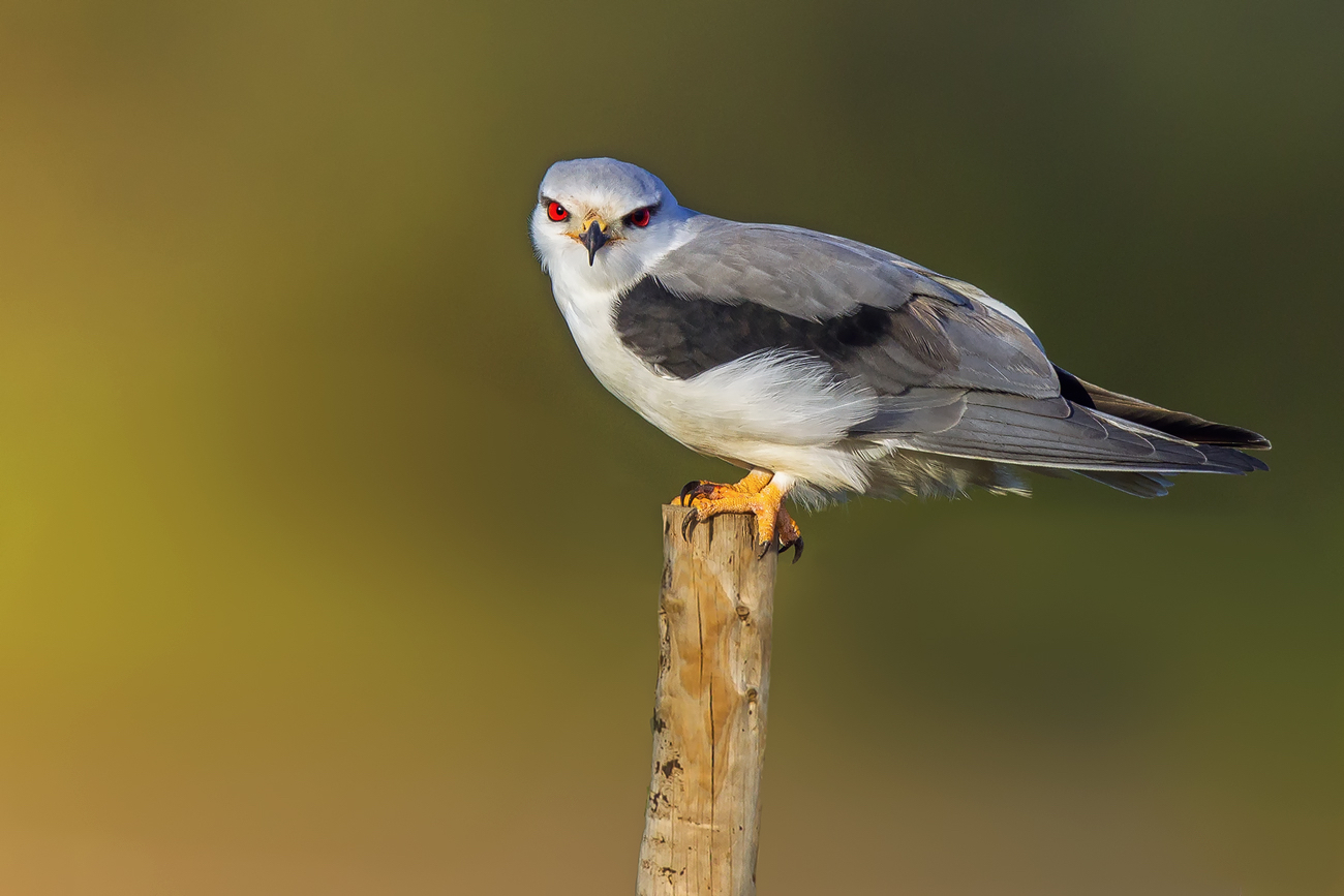 """Black-winged Kite""..."