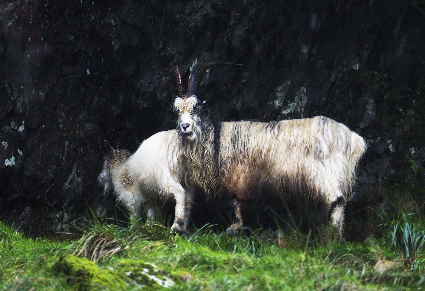 Wild welsh mountain goats