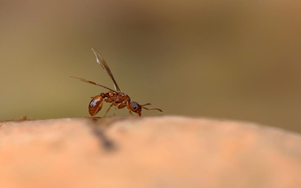 Turbo Fliegende Ameise (Forum für Naturfotografen) AA49