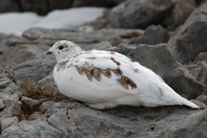 Weiße Taube Zugeflogen