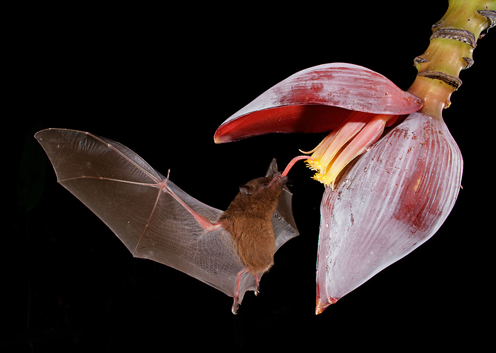Blütenfledermaus Long-toungued Bat ( Glossophoga spec )