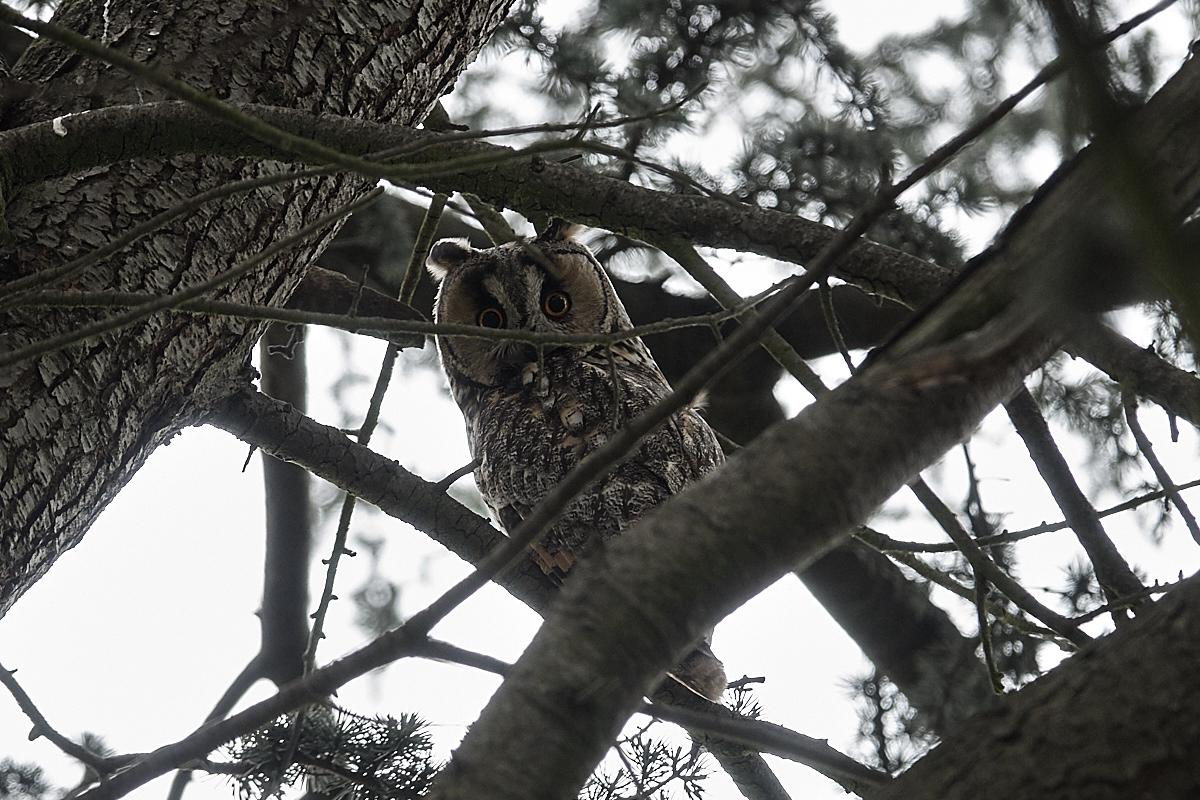 https://naturfotografen-forum.de/data/o/320/1603445/Waldohreule_Elterntier-.jpg