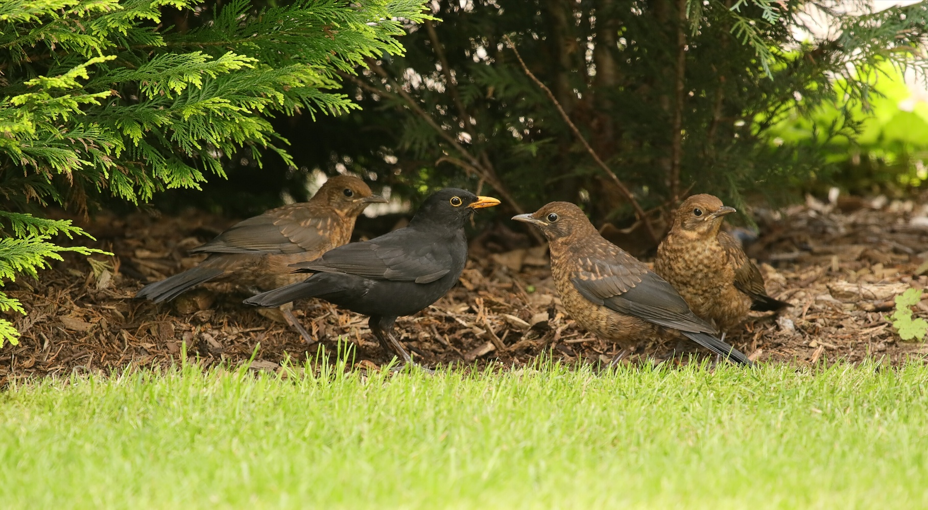Familie Amsel