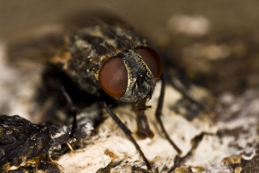 Fliege im auge