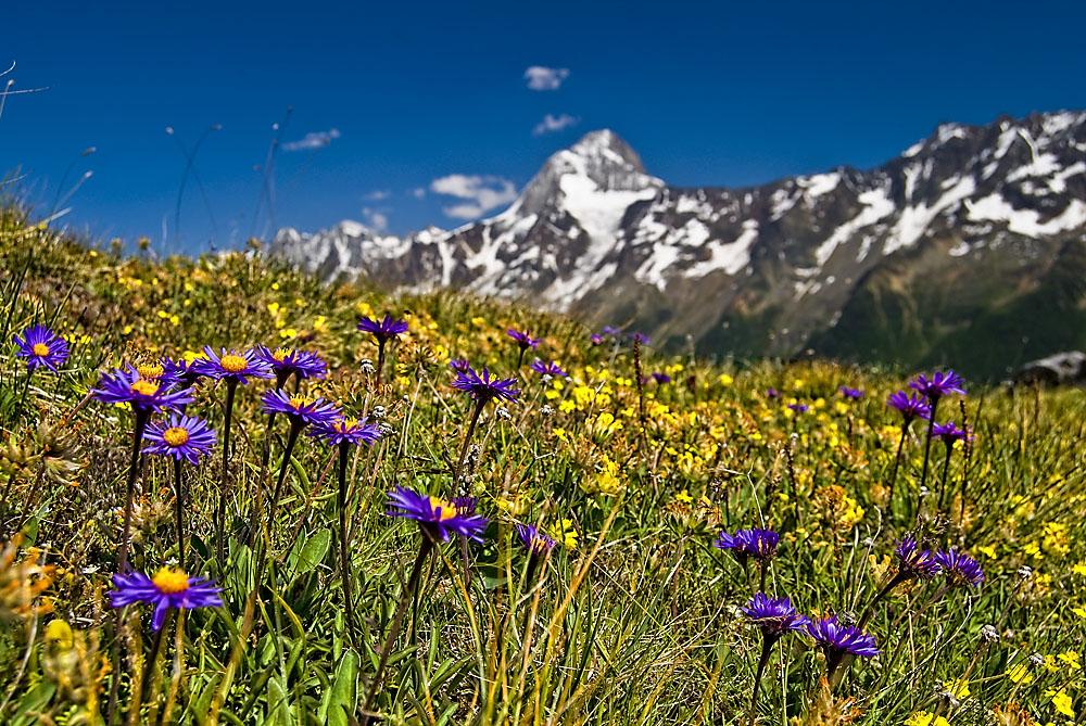 Astern und andere Blumen auf dem Lötschenpass (Forum für