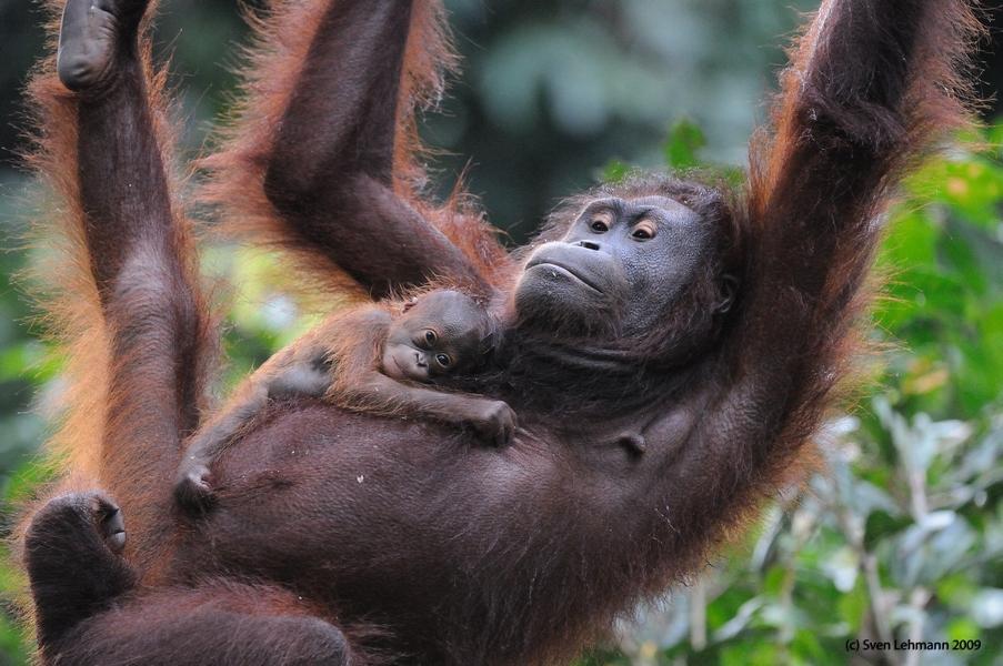 role of orang utan rehabiltation centra The center takes the role as their mother to turn them into wild orangutans  sepilok orangutan rehabilitation center is located 25 km to the west of sandakan city.