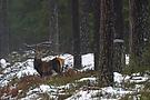 junger Rothirsch im Wald
