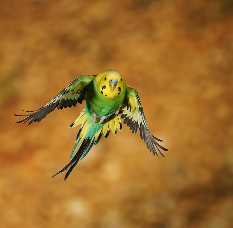 Wellensittich (Forum für Naturfotografen)