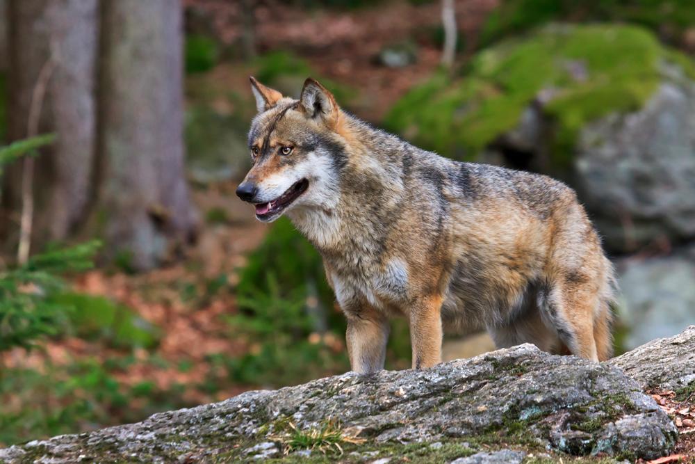 Wolf Bild