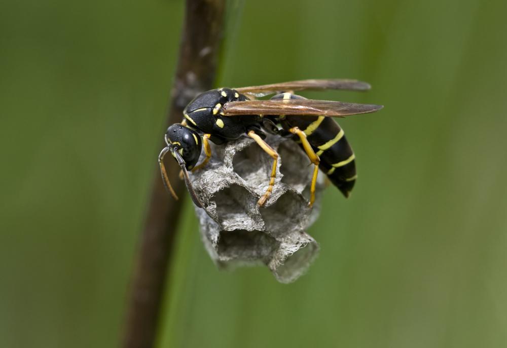 Schwarze Wespe Forum Für Naturfotografen