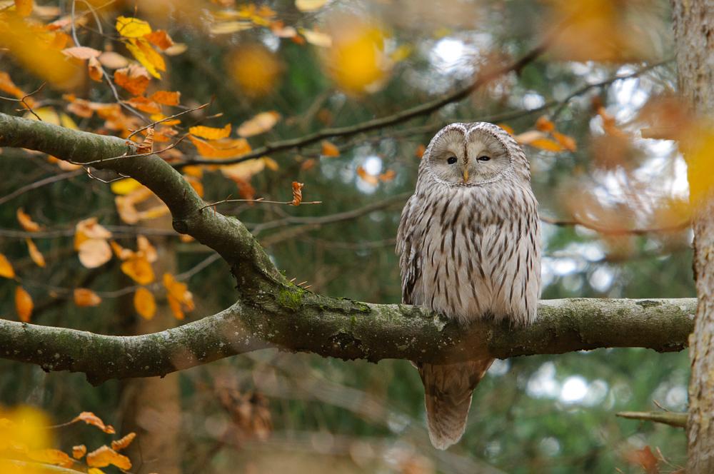11 Best Great Sailing Stuff Images On Pinterest: Habichtskauz (Strix Uralensis) Im Herbstwald (Forum Für