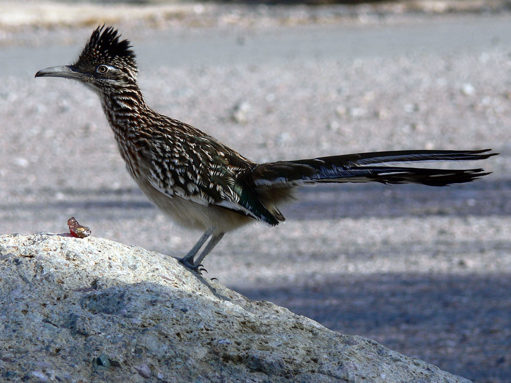 Greater Roadrunner #2 ND