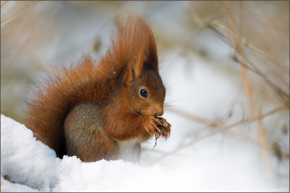 Eichhörnchen Winterruhe