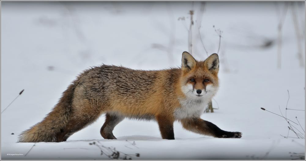 https://naturfotografen-forum.de/data/o/92/463682/image::wolfgang_lequen_vulpes_wildlife_rotfuchs_raubtier_fuchs_fuechse_fox.jpg