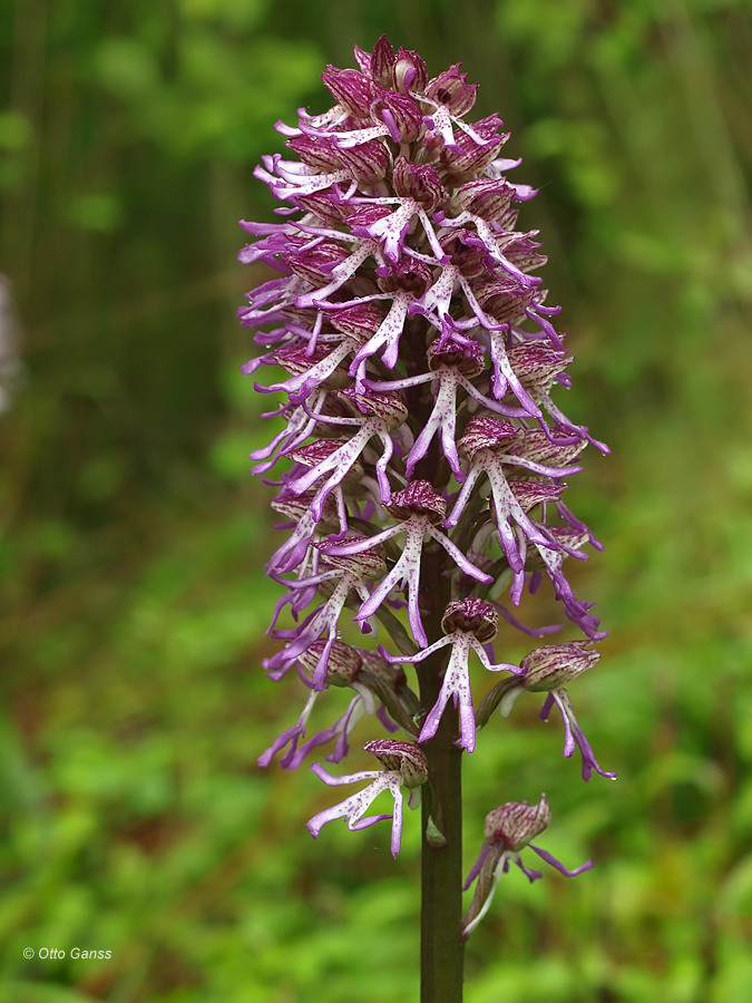 Orchis x angusticruris (Orchis purpurea x simia)