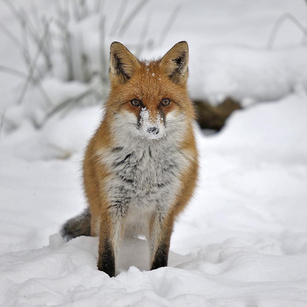 Schneenase Forum F 252 R Naturfotografen